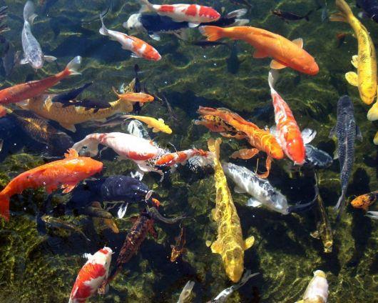 lago de carpas