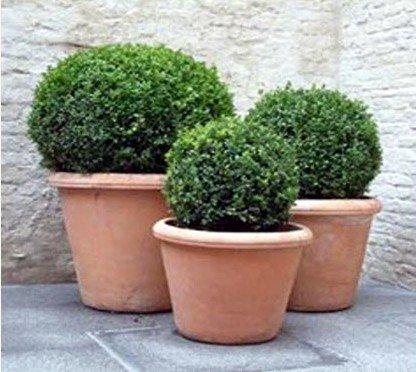 3 vasos de plantas em barro com plantas buxinho plantadas.