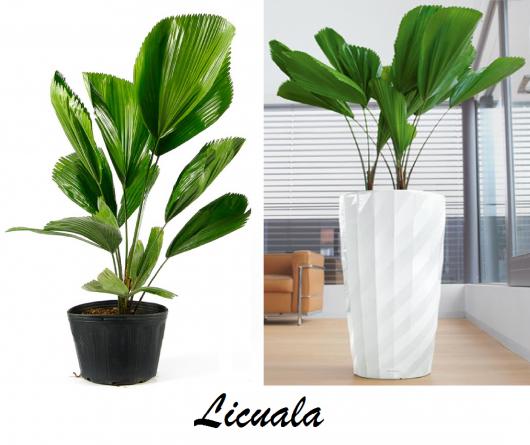 vasos de plantas com a planta licuala.
