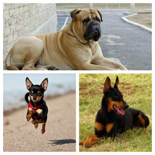 De pequeno, médio ou grande porte, há cães ideais para qualquer necessidade