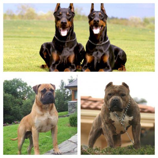 15 melhores cães de guarda e ótimas dicas para criá-los e treiná-los corretamente