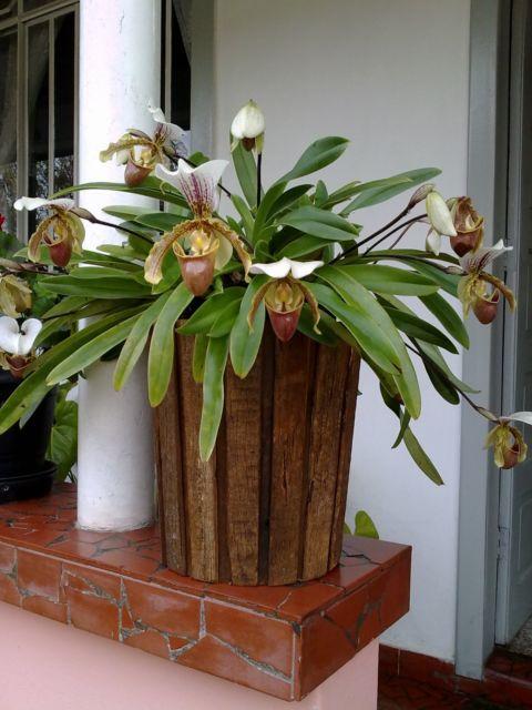 Modelo redondo e grande para orquídeas com muitas ramas