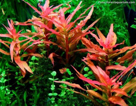Amania rosada