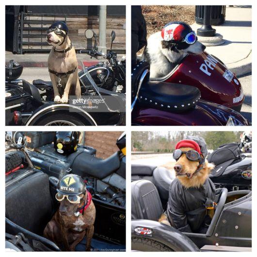 O cachorro fica estiloso e seguro usando capacete