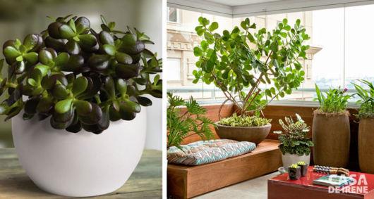 Jade é uma planta que apresenta muitos significados