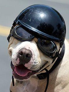 Modelo ideal de capacete para cachorro + óculos