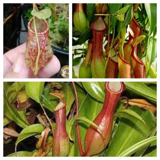 Os jarros da planta carregam uma substância que atrai pequenos animais