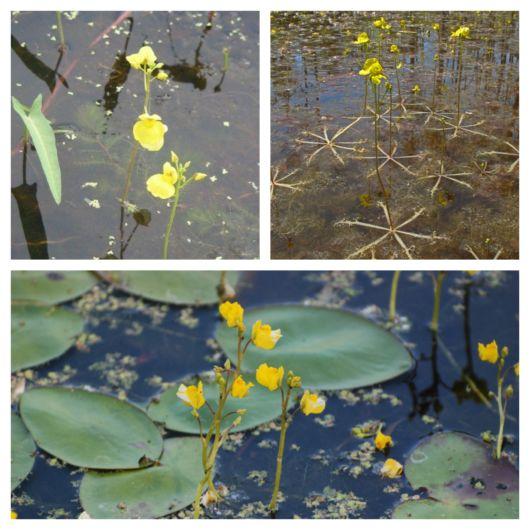 Essa planta se desenvolve na água e tem um lindo aspecto
