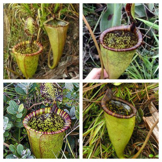 A bolsa gigante que essa planta carrega atrai insetos e até pequenos roedores