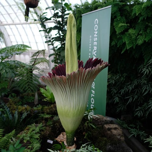 Essa planta é cultivada em muitos jardins e terrários