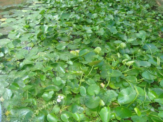 plantas flutuantes