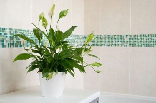 Lírio da Paz na decoração do banheiro