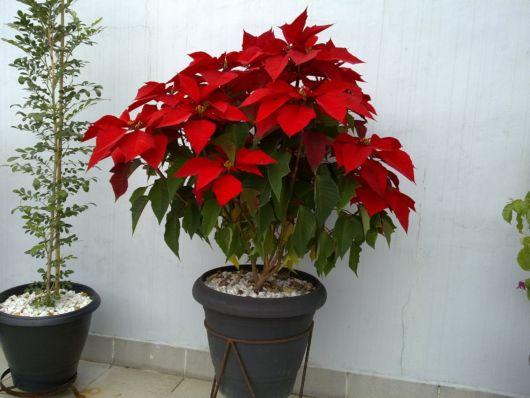 planta ornamental vaso