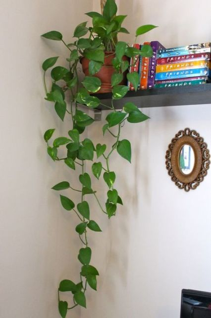 planta para prateleira