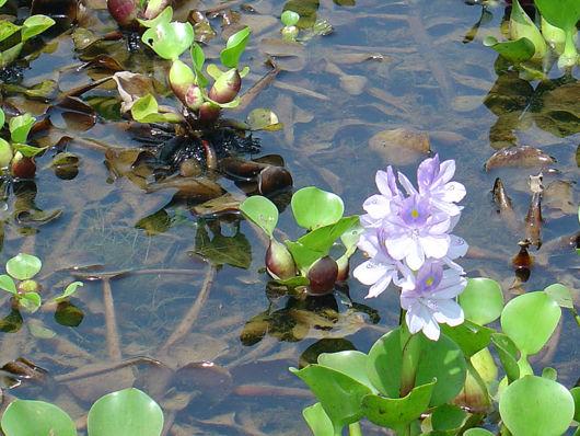 planta aquática com flor