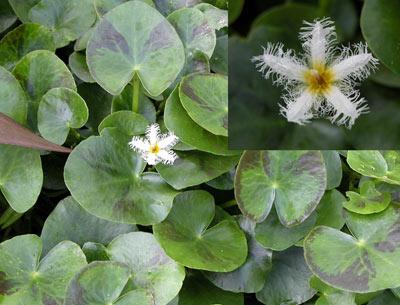 planta aquárica com floração