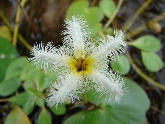 flor planta aquática nymphoides