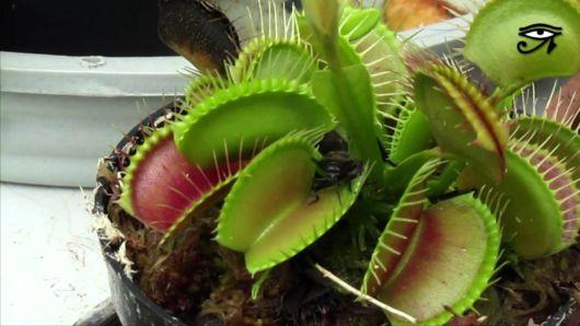 planta dinéia