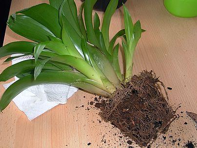 como plantar e cuidar de bromélia