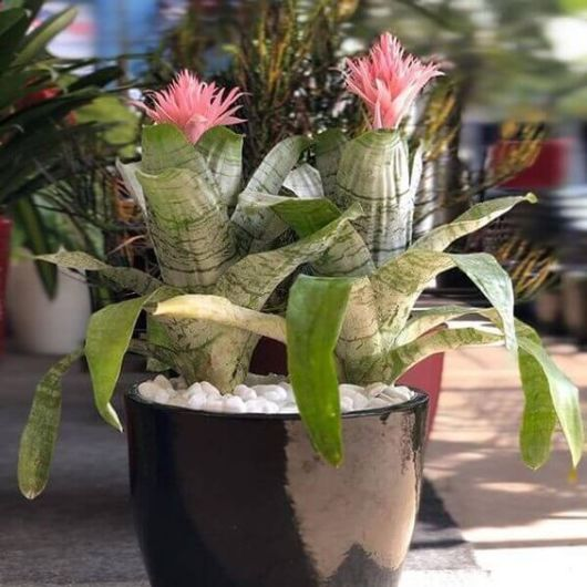 bromélia florida vaso