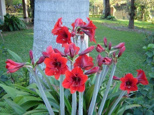 jardim com amarílis vermelha