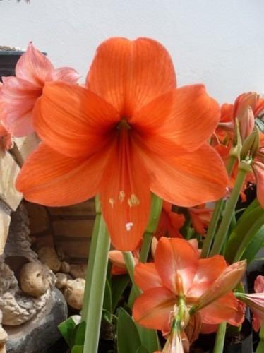 amarílis florida