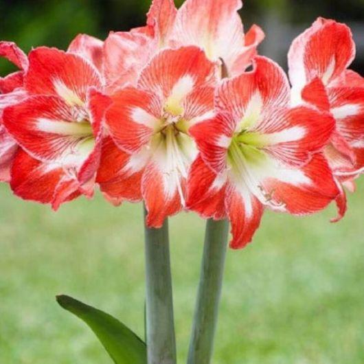 flor vermelha com branco