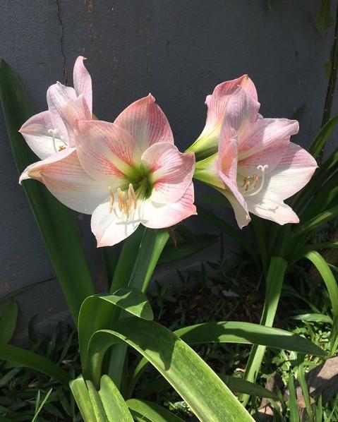 amarílis rosa e branca