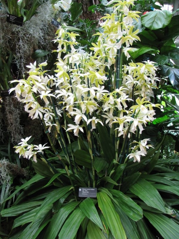 belas orquídeas terrestres
