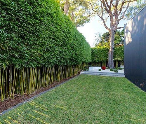 cerca viva de bambu