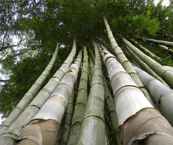 cerca de bambu guadua 1