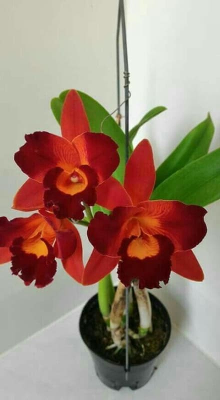 dicas de orquídeas vermelhas