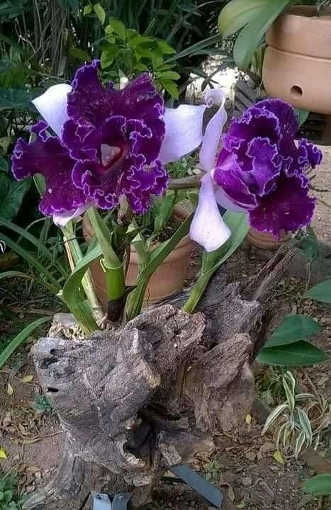 espécies de orquídeas roxas