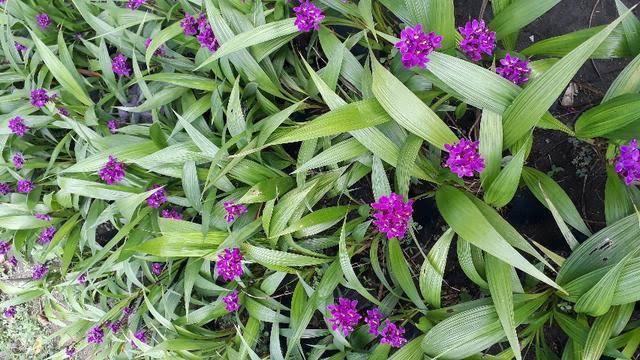 espécies de orquídeas terrestres