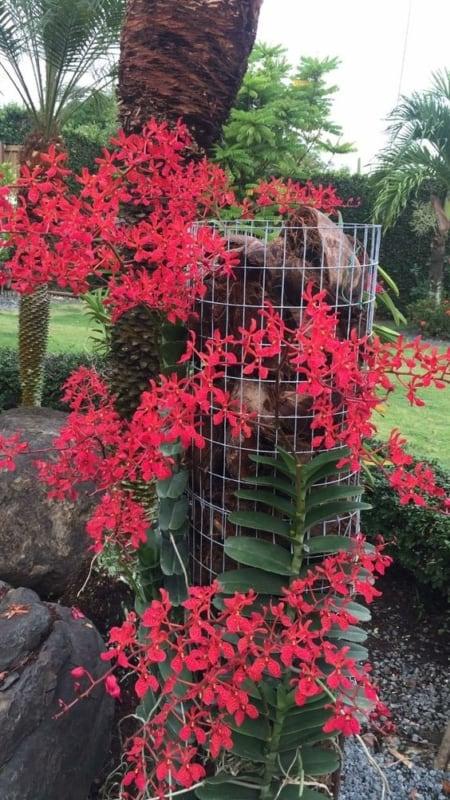 espécies de orquídeas vermelhas