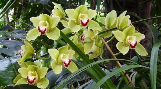 fotos de orquídeas terrestres