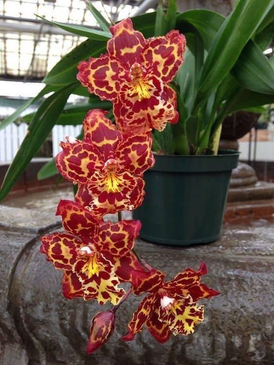 lindas orquídeas vermelhas