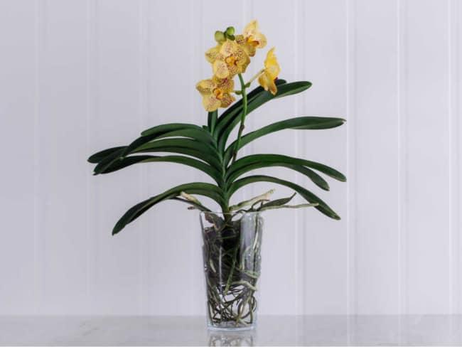 orquídea amarela tipos
