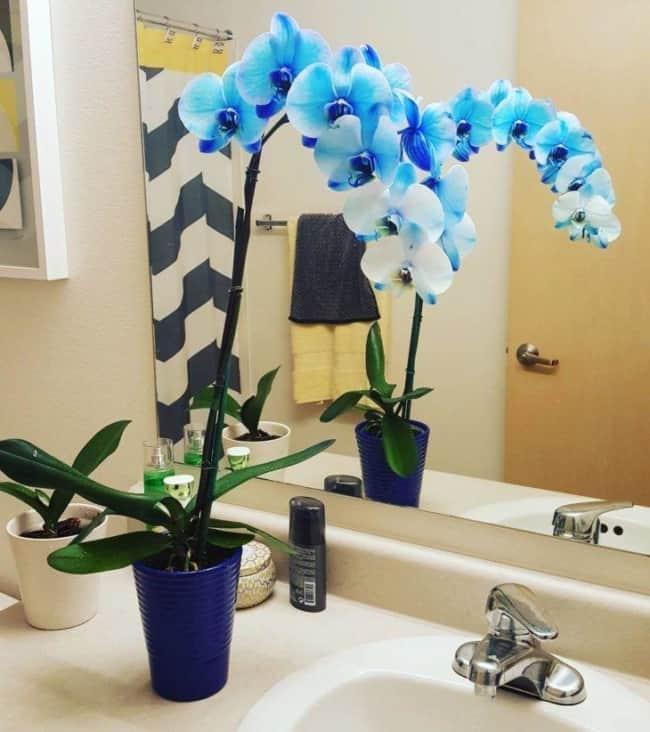 orquídea azul no banheiro