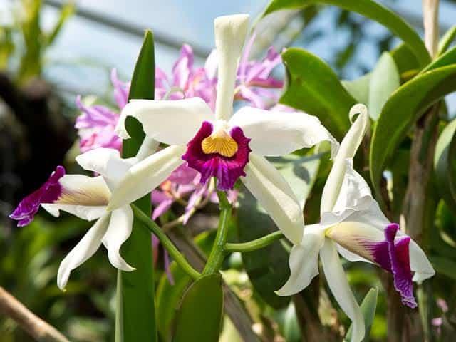 orquídeas brasileiras cattleya purpurata