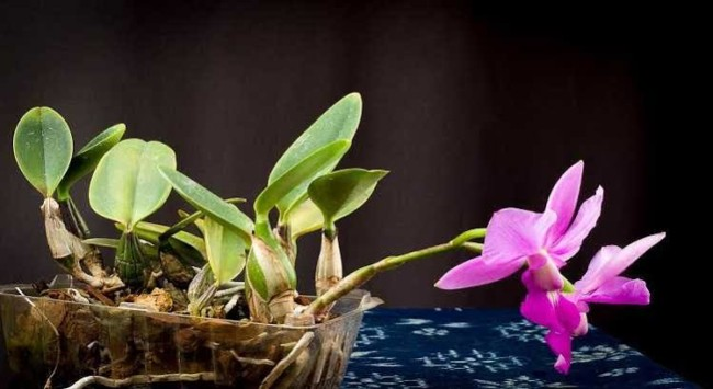 orquídeas brasileiras cattleya walqueriana