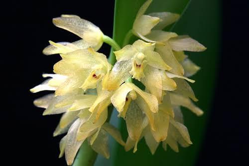 orquídeas brasileiras octomeria