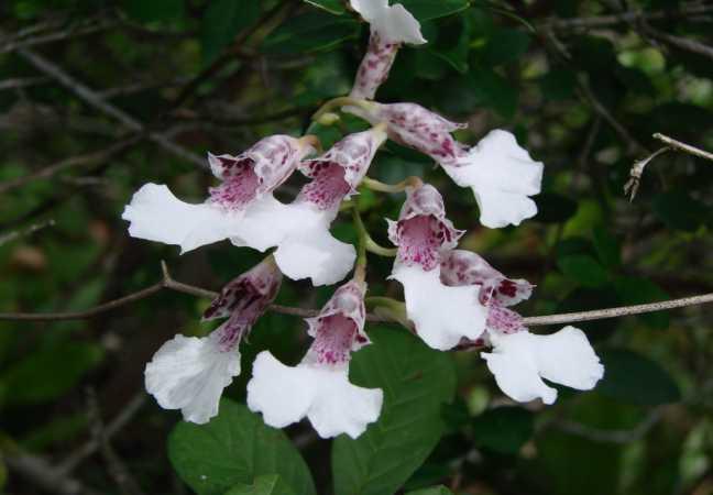 orquídeas brasileiras rodriguezia