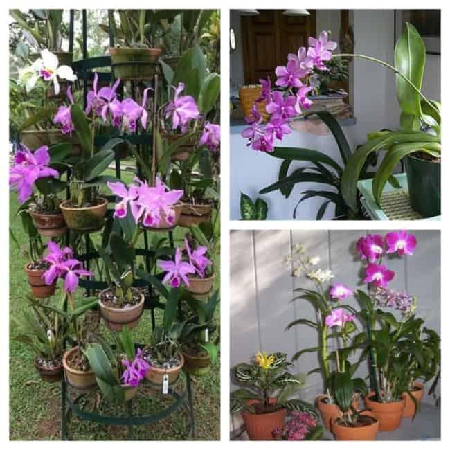 orquídeas em vasos