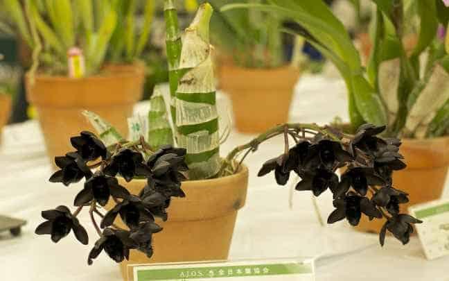 orquídeas raras after dark