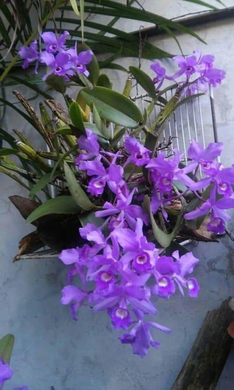 orquídeas roxas em vasos