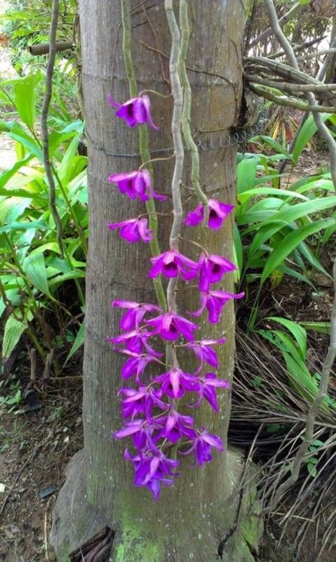 orquídeas roxas epifitas