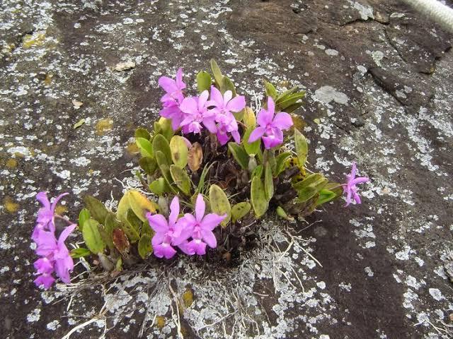 orquídeas rupícolas