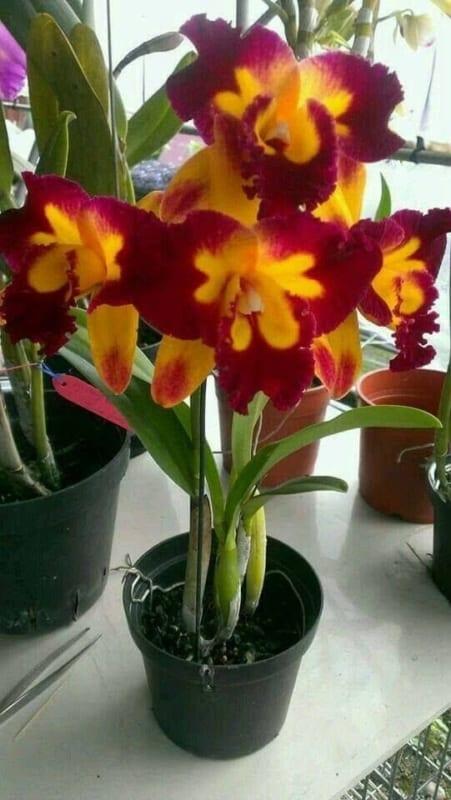 orquídeas vermelhas