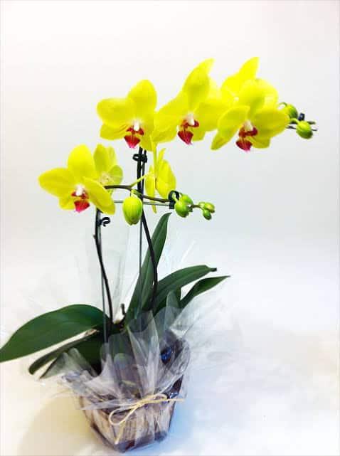 tipos de orquídea amarela